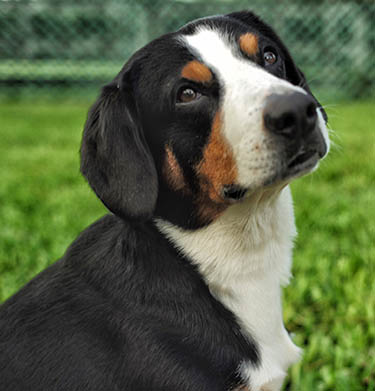 head stud of Entlebucher Mountain Dog stud dog, Bluto, Charles From Balihara Ranch CGC (Am CH ptd)
