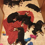 entlebucher stud dog bluto pups